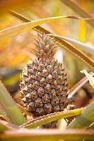 A close view of a hybrid sagenarius pineapple growing on a farm.