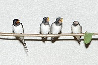 Barn Swallow Hirundo rustica, parent bird and fledgelings sitting on stick, Germany