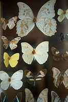 Various butterflies displayed in a collection.