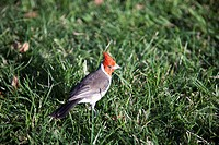 A red capped cardinal hops across a lawn.