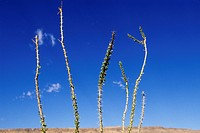 Cactus stalks against blue sky background
