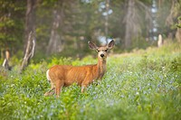 Mule Deer Odocoileus hemionus in meadow