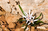 Colchicum pusillum, Crete
