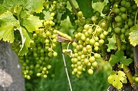 Baden (Argovia, Switzerland): grape cultivated field on the hills
