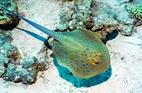 Bluespotted ribbontail ray Taeniura lymma foraging on the seabed. This stingray is found in the Indo_West Pacific region and feeds on molluscs, worms,...
