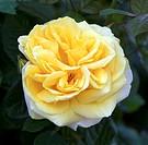Rose Rosa ´Michelangelo´ in flower.