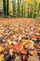 Autumn leaves on forest floor, Sharbot Lake Provincial Park, Ontario, Canada