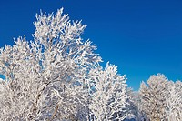 Frost covered branches and clear sky