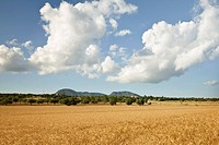 Wheat field in Mediterranean countryside