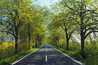 Country road through lime trees