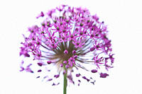A purple allium flower head, close up