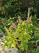 Basil Ocimum basilicum, of the family Lamiaceae mints, includes many varieties. Basil used in Italian food is typically called sweet basil. Thai basil...
