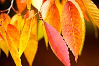 Beautiful Autumn Hues of the Zelkova Serrata Keyaki Tree