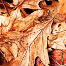 Bronzed Autumn Crispy Fallen Oak Leaves on the Woodland Floor
