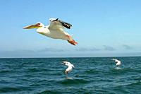 pellicano, oceano atlantico, namibia