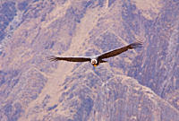 Andean Condor in flight, Vultur gryphus, Colca Canyon, Andes, Peru, South America, Andenkondor im Flug