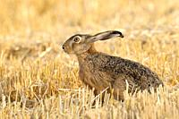 European brown hare (Lepus europaeus) in summer, Germany, Europe