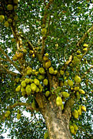 A Jackfruit tree Jackfruit is the National fruit of Bangladesh Godkhali, Jhikorgacha, Jessore, Bangladesh March 30, 2008