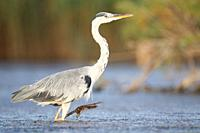 Grey Heron at S'Albufera, Majorca, Spain