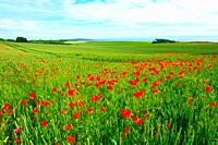Field of poppies and wheat in Scotland