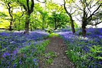Blue bells forest in Scotland