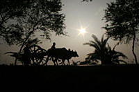A competitor returns home after a bullock cart race in Jessore, Bangladesh The bullock cart race, or Gorur Gari Dabor, is a common and traditional spo...