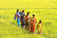 A Bangladeshi rural family walking through a mustard field Manikganj Bangladesh January 09, 2009