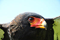 The Bateleur Terathopius ecaudatus is a medium_sized eagle in the bird family Accipitridae, common in the open savanna country in Sub_Saharan Africa I...