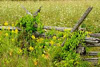 Cedar split-rail fence with American bittersweet vine