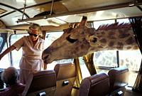 Giraffe with head and neck inside a tourist bus