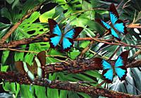 Bluewinged Papilio Ulysses and Greenwinged Papilio blumei butterflies in rainforest