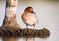 Pochard Aythya ferina at S'Albufera, Majorca, Spain