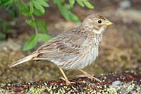 Corn Bunting Miliaria calandra, Majorca, Spain