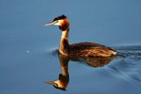 Great Crested Grebe at S'Albufera, Majorca, Spain