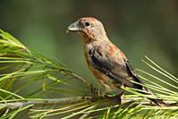 Crossbill Loxia curvirostra on a pine tree, Escorca, Majorca, Spain