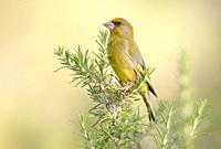 Greenfinch, Majorca, Spain