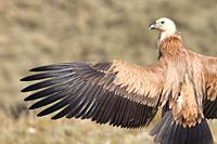 Griffon Vulture Gyps fulvus with open wings, Lleida, Spain