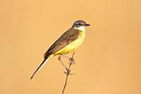 Yellow Wagtail Motacilla flava, Majorca, Spain