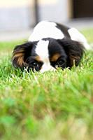Cavalier king hiding in the grass