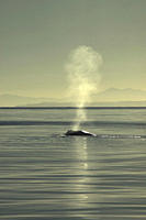 The blow of a blue whale Balaenoptera musculus Gulf of California A4 only