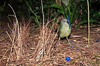 a green satin bowerbird, Ptilonorhynchus violaceus, displaying beside its bower  This is a young male which has not yet changed to the glossy black of...