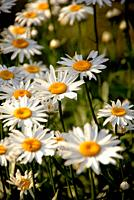 One daisy stands out among many, Pennsylvania, USA