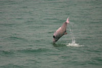 Indo_Pacific humpbacked dolphin Sousa chinensis somersaulting, Lantau Island, Hong Kong