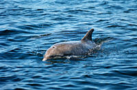 Bottlenose dolphin Tursiops truncata that took up resident around an island in the Hebrides for many years with her calf: Starlight and Sparkle West c...