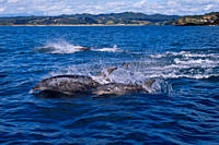 Bottlenose dolphins Tursiops truncatus fleeing from orca/killer whales Orcinus orca Tutukaka, North Island, New Zealand, South Pacific Ocean