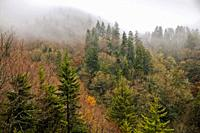 Evergreens, Autumn, Fog, Great Smoky Mountains NP, TN-NC