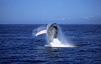 Humpback whale Megaptera novaeangliae breaching with long white pectoral fins visible Hawaii, USA