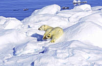 Polar bear Ursus maritimus on an ice floe Scoresbysund, East Greenland