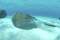 Southern Stingray Dasyatis americana, swimming over sandy seabed, Cayman Islands, Caribbaen