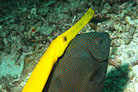 Trumpetfish Aulostomus chinensis shadowingrabbitfish,Mabul Borneo, Malaysia